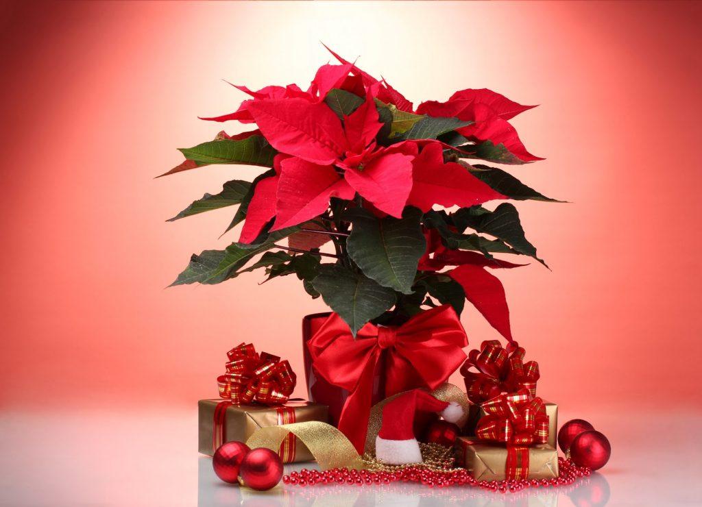 flores-nochebuenas-navidenas-flores-de-navidad-poinsettias-flowers-flores-rojas-5